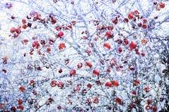 Frostade röda äpplen i vinter Arkivbild