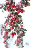 Frostade röda bär Royaltyfria Bilder