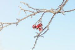 Frostade röda bär Royaltyfria Foton