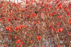 Frostade röda bär i skogen Royaltyfri Bild