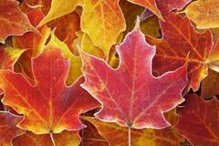Frostade röda lönnlöv Royaltyfri Bild