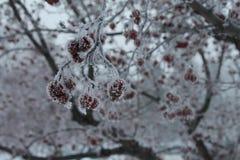 Frostade röda vinterbär Fotografering för Bildbyråer