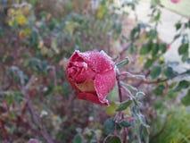 Frostade Rose Bud Royaltyfri Fotografi