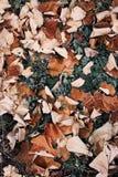 Frostade sidor som ligger på ett höstgräs, bryner Royaltyfria Foton