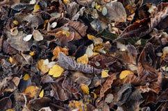 Frostade torra höstsidor Arkivbild