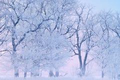Frostade träd på gryning Royaltyfria Bilder
