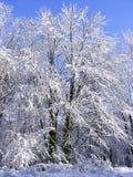 frostade trees Arkivbilder