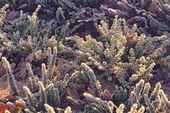 Frostade vita och purpurfärgade ljungar i den kalla morgonlien för morgon Arkivbilder
