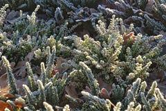 Frostade vita och purpurfärgade ljungar i den kalla morgonlien för morgon Arkivfoto