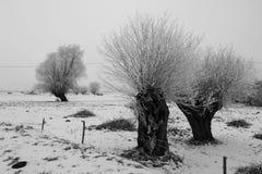 Frostade Willow Trees Royaltyfri Bild