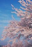 Frostat äppleträd Royaltyfria Foton