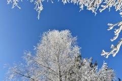 Frostat björkträd, iskalla filialer, blå himmel Royaltyfri Bild