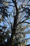 Frostat björkträd, trädhackspetten, iskalla filialer, blå himmel Arkivbild