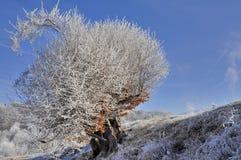 Frostat gammalt träd Arkivbild