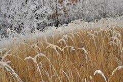 Frostat gräs Arkivbild