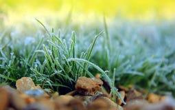Frostat gräs i trädgården Arkivfoto