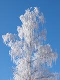Frostbirke Stockbild