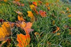 Frostbitten красочные листья Стоковое Фото