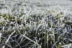 Frostbitten grass. Frosted grass in a meadow in the woods Stock Image