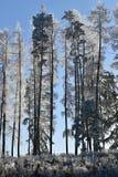 Frostbitten rad av trädlärkträd, blå himmel Arkivbild