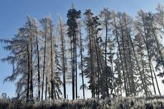Frostbitten rad av trädlärkträd, blå himmel Royaltyfri Bild