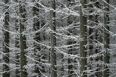 Frostbitten trees Royalty Free Stock Image