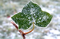 Frosted. Single frosted leaf at a early cold day Stock Photography