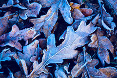 Frosted abstarct oak leafage Royalty Free Stock Images
