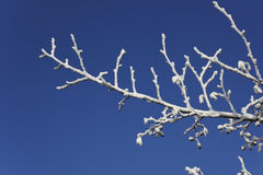 Frosted alder twigs. Alder twigs covered in white frost against a clear bright blue sky stock images