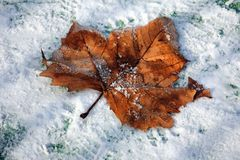 Frosted autumn leaf. Autumn leaf covered with frost in the snow Royalty Free Stock Photos