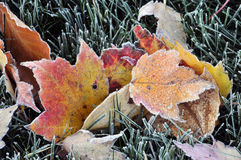 Frosted Autumn Leaves Stock Photography
