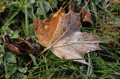 Frosted, autumn maple leaf Stock Image