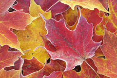 Frosted Autumn Maple Leaves. Close-up of frosted red and yellow autumn maple leaves Stock Image