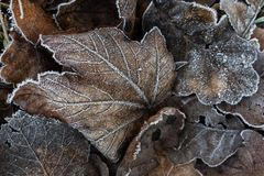 Frosted autumnal leaves laying on the ground royalty free stock photos