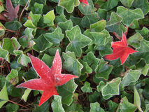 Frosted Autumnal maple and ivy leaves. Autumnal maple and ivy leaves with ice crystals after the first frost Stock Image