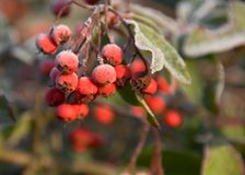 Frosted berries. Red berries and leaves covered in frost Stock Image