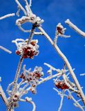 Frosted Berries 3. Red berried tree covered in hoar frost under a blue sky Stock Photo