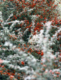 Frosted berries. Frosted bush with small leaves and red berries Royalty Free Stock Photography