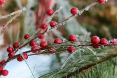 Frosted Berries. Decoration berries covered in frost Stock Photo