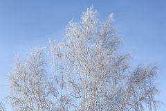 Frosted birch. Tree against blue sky Royalty Free Stock Image