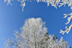 Frosted birch tree, icy branches, blue sky. Birch Royalty Free Stock Image