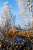 Frosted birch trees. The picture shows two frosted birch trees standing beside a small river. Winter landcape on a sunny day with blue sky royalty free stock image