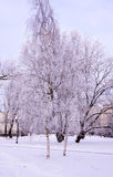 Frosted birches in city park Royalty Free Stock Images