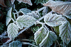 Frosted blackberry leaves Royalty Free Stock Image