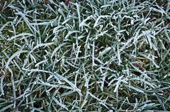Frosted blades of grass Royalty Free Stock Images