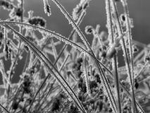 Frosted blades of grass. In winter grove. Photo in black and white Royalty Free Stock Photo