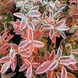 Frosted blueberry leaves. Frost edging orange/red leaves of blueberry plants with pots and more leaves in background Royalty Free Stock Photo