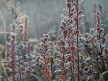 Frosted bog bilberry bush with leaves. Frosted bog bilberry bushes in winter with leaves in different colors stock photos