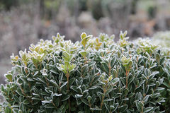 Frosted boxwood krzak Obraz Royalty Free