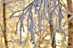 Frosted branch Stock Images